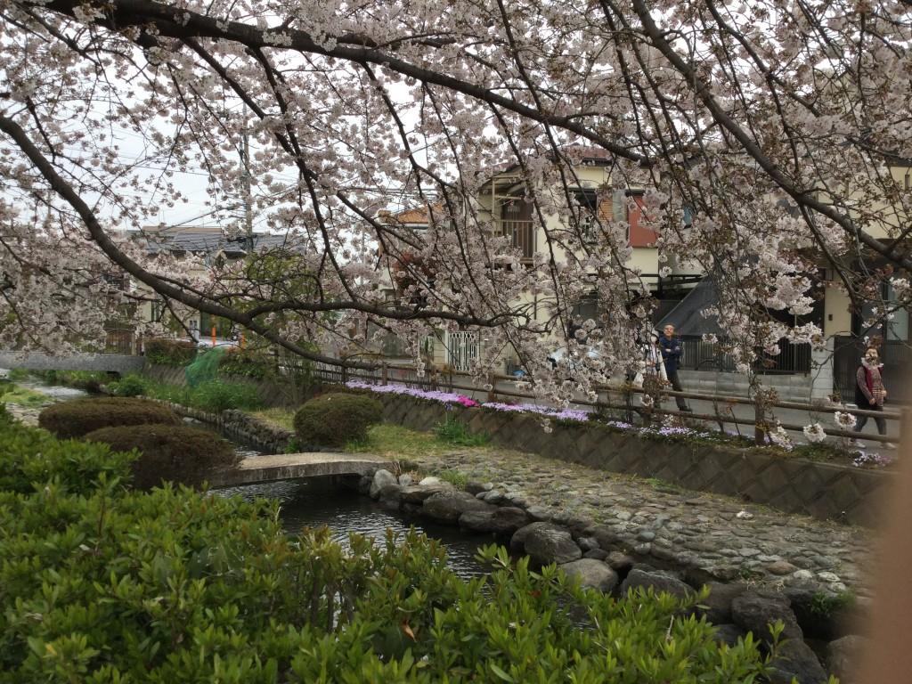 桜風景その2